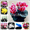 Cyclamen 100 Pcs Seeds Flowers Indoor Potted Plants Perennial Garden NEW Bonsai