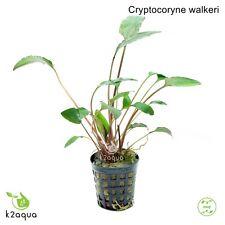 Cryptocoryne walkeri Live Aquarium Plants Tropical Aquascaping Nano Tank Co2 EU