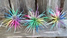 3 Tillandsia Ionantha ~Confetti~ Fun Fairy Garden Air Plant Lot ~Easy Care