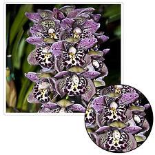 100 Pcs Purple Leopard Spots Cymbidium Faberi Orchid Flower Seeds Garden Decor