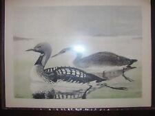 Original 1930  Rex Brasher #10 Hand Colored Bird Print  Pacific Loon #10REX2 DSS