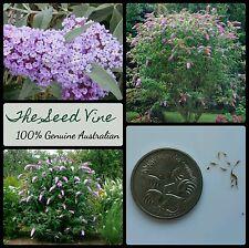 20+ BUTTERFLY BUSH SEEDS (Buddleja davidii) Purple Shrub Ornamental Flower