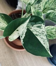 Beautiful Marble Queen Pothos  2 Cuttings   Vining House Plant Air Purifier