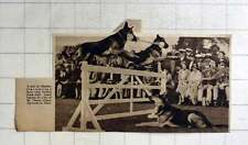 1936 Alsatian Dogs Jumping A Fence Holding Dumbbells, Thame Agricultural Show