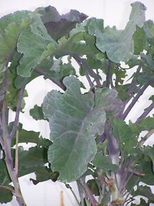 Purple Leaf Tree Collard Cutting