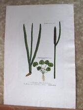 "Vintage Engraving,ACONITUM FOLIIS,C.1740,WEINMANN,Botanical,20x13.5"",Mezzotint"