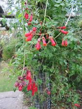 SCHÖNRANKE  Mischung 30 Samen Eccremocarpus Scaber immergrüne Kletterpflanze