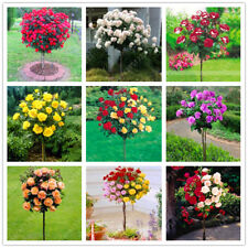 100 PCS Red Rose Tree Trees Seeds Seed Home Garden Potted Balcony Bonsai Flower