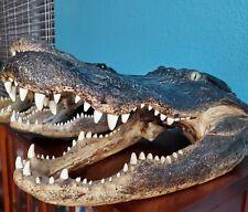 "21.5"" Massive Alligator Head from 13 Foot Gator Taxidermy Swamp Crocodile Jungle"