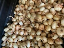 New Listing1 lb Spring Planting Onion sets (Sweet Yellow Cipollini), Onion Sets, Garden