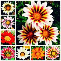 100 PCS Seeds Gazania Rigens Flowers Plants Home Garden Bonsai Free Shipping New