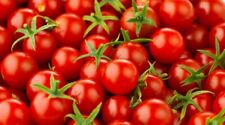 50+ Cherry Tomato Seeds Large | NON-GMO | Fresh Garden Seeds