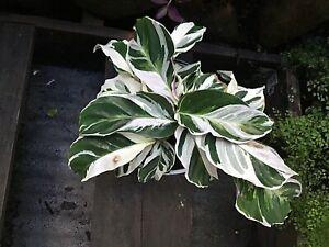 Calathea 'WHITE FUSION' - VARIEGATED Tropical Foliage Plant