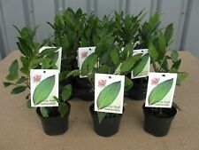 2 x Quality Bay Laurel Laurus Nobilis Aromatic Leaves Evergreen Tree/Kitchen Bay