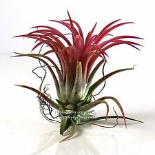 1 x Large Tillandsia Red IONANTHA bromeliad. Approximately 7x7cm