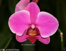 20 Solid Pink Phalaenopsis Moth Orchid Seed Organically USA Grown & Harvested