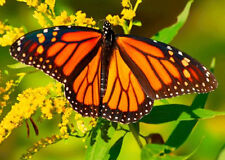 Monarch Butterfly on Blossom - 3D Lenticular Postcard Greeting Card