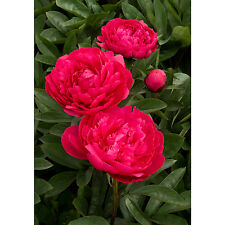Kansas Peony Peonies Red 3-5 Eyes Heavy Established Perennial 1 Gallon Trade Pot