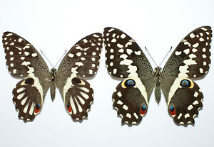 Papilio demodocus from Kenya TWO FEMALES ABERRATION + NORMAL (mounted)
