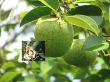 Annona Glabra - Pond Apple - Rare Tropical Plant Tree Seeds (10)