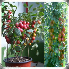 5 Seeds Rare Bonsai Cherry Fruit Seeds Growing Bonsai Indoor Fruit Tree Seeds