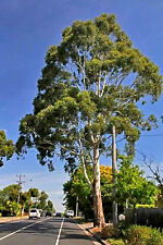 Manna Gum (Eucalyptus viminalis) - 150 Fresh Seeds