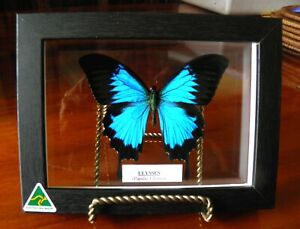 ULYSSES BUTTERFLY IN A SEE THROUGH FRAME