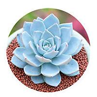 Grahamia coahuilensis succulent plant 10 seeds