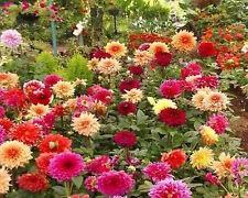 25+ GIANT DAHLIA  SHOWTIME- SHOWPIECE MIX   / 4 FEET TALL  FLOWER SEEDS