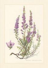 Besenheide - Calluna vulgaris Farbdruck von 1960 Heidekraut Brandheide