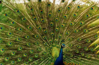 """Hand painted oil painting birds Male peacock canvas free postage size 24""""x36"""""""