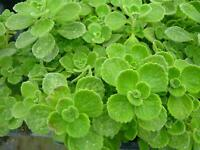 Vicks Plant 2 plants grow your own medicine/houseplant FREE SHIPPING!