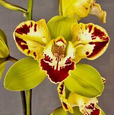Cymbidium Harlequin ´Grasland Flame´ pelorisch XL Pflanze Orchidee Orchideen