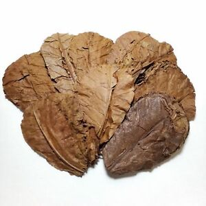"""250 Indian Catappa  Almond Leaves, 5""""-7"""" for Shrimp, Bettas and Aquariums"""