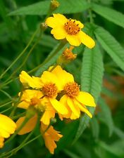(50) Mexican Mint Marigold Herb Seeds - Tagetes Lucida - Combined S&H