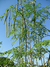 Vegetable Seed DRUMSTICK - Moringa oleifera - Hybrid SHAJNA  - Pack of 15 seeds