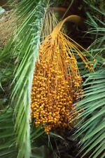 Date Palm Seeds.Bonsai Seeds (Phoenix dactylifera) 6 seeds+ 2 free..Sexual.Rare