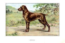 Stampa Antica CANE = DEUTSCHER DRAHTHAAR = 1930 Chien Dog Old Antique Print