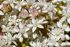 Flower - Sedum Album - White Stonecrop - 1000 Seeds