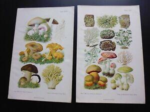 Gravure 19°:botanique:Vogel, müllenhoff, rösler, 9 planches