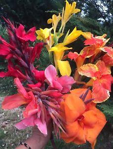 canna Indica Cannalily 5 Mixed Beautiful Coloured growing Plants Big Rhizomes