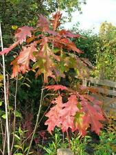Native Young Large TREE 4L POT 4-5ft RED OAK Quercus Rubra Acorns Autumn Cols