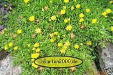 winterharte Mittagsblume, Delosperma lineare