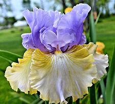 "Tall Bearded Iris""Party's Over(meek)'05- Blue-Ochre Gold Reverse Amoena-Ruffled"