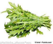 Rucola piccante mediterraneo Insalata Pianta aromatica Balcone Vaso 200