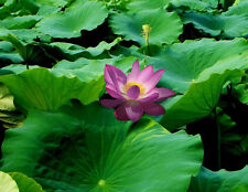 Liveseeds - Mini Purple Lips Bonsai Lotus/ Water Lily Flower /5 Fresh Seeds