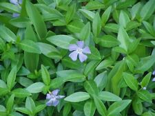 Vinca minor Ground Cover 250 Bare Root Plants Free Shipping