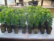 200 Stück Buxus sempervirens Buchsbaum 10-15 Hecken Buchs Hecke immergrün