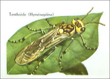 IMAGE CARD Tenthrède Hymémoptère fausse-chenille birch sawfly Insect Insecte 60s