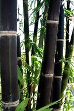 Phyllostachys nigra Black Bamboo Seeds - 10 Fresh plant seeds